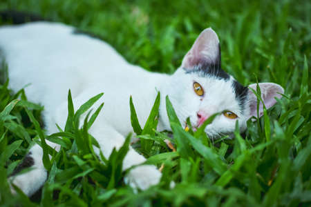 A cat is lying in the green grass,looking at camera
