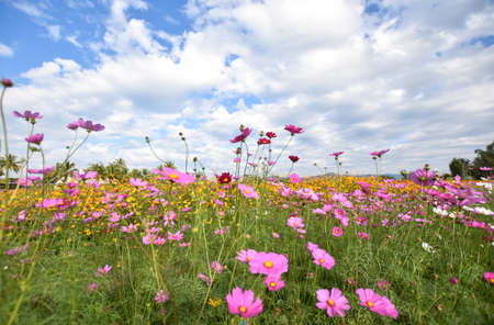 Summer cosmos flowers and meadow on bright cloudy blue sky., Beautiful cosmos flowers blooming and copy space