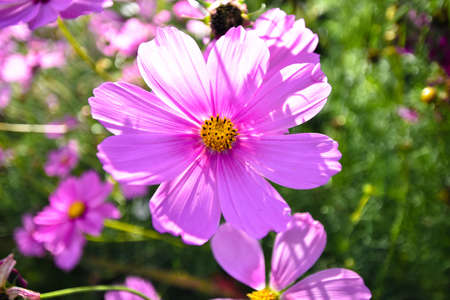 Close-up pink cosmos flower in garden and sunlight.,close-up view Stok Fotoğraf