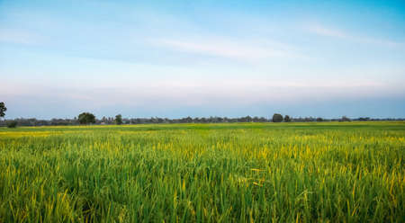Rice field green grass blue sky in sunset, landscape background, copy space