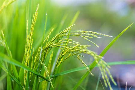 Ripening rice field Stok Fotoğraf