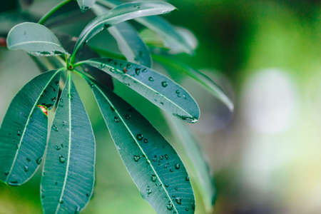 Close up of leaves Plumeria green and Water drop