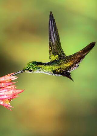 The smallest hummingbird bird in the wild Archivio Fotografico - 129456045