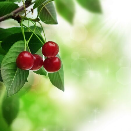 Cherry cherries on a twig leaves a tree .