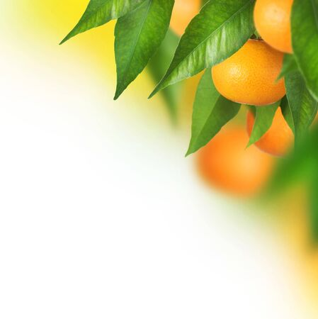 Tangerine oranges citrus fruit leaves on a white background.