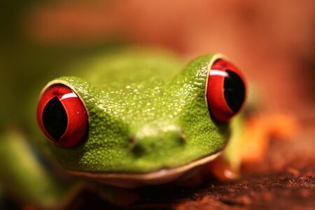 Frog amphibious red eyes green .