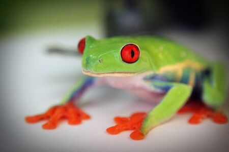 Frog green amphibian red eyes gray background .