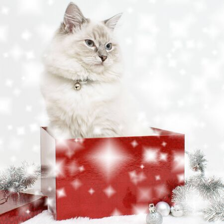 Cat fluffy red box Christmas tree toys white background .