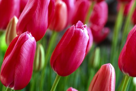 Tulip flowers plant buds pink .