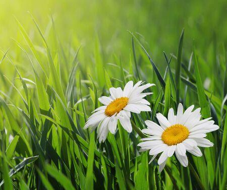 Kwiaty rumianku pozostawiają płatki roślin.