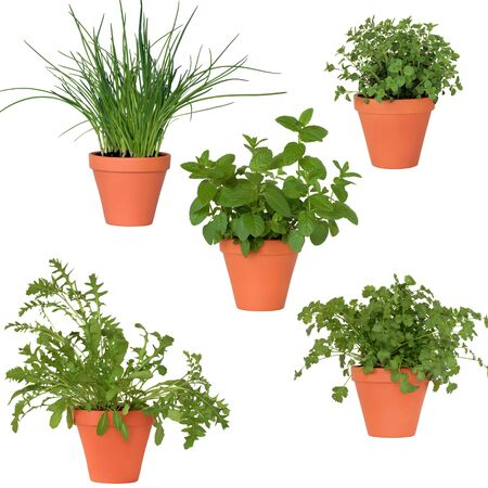 Coriander, mint, rocket, chives and marjoram herbs growing in teracotta pots, isolated over white background. . Stockfoto