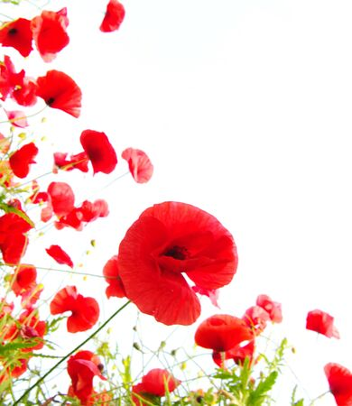 Poppies red plant flowers on a white background .
