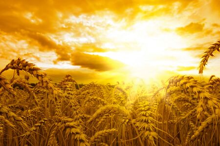 Field spikes wheat sky sun beams . Banque d'images