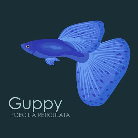 guppy: Aquarium fish Guppy, vector illustration isolated on dark background. Fish flat style vector illustration. Illustration