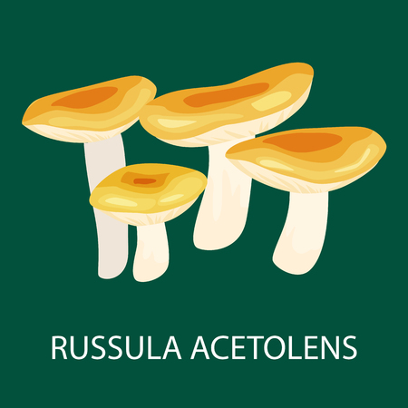 edible mushroom: Russula Acetolens isolated, Wild Foraged Mushroom, Vector isolated edible natural mushrooms in nature set, organic vegetable food collection. Illustration