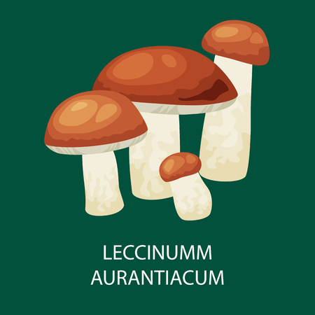 uncultivated: Mushroom leccinum aurantiacum, Vector isolated edible natural mushrooms in nature organic vegetable food.