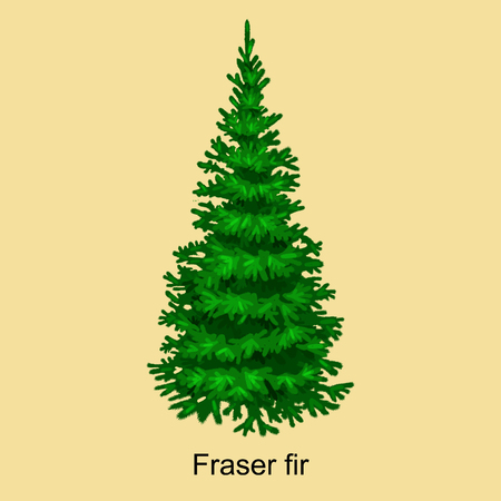 evergreen: Christmas vector tree like fraser fir for New year celebration without holiday decoration, evergreen xmas plants. Illustration