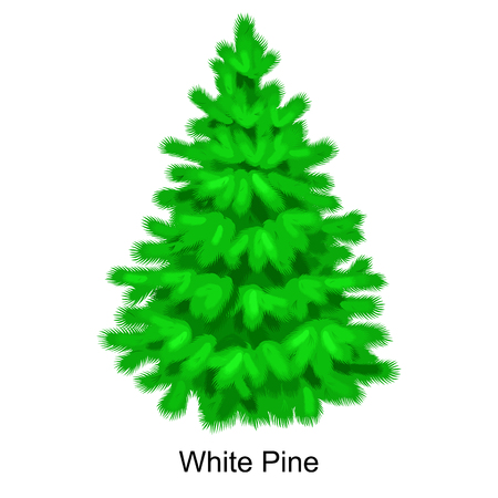 Christmas vector tree like white pine for New year celebration without holiday decoration, evergreen xmas plants. Illustration