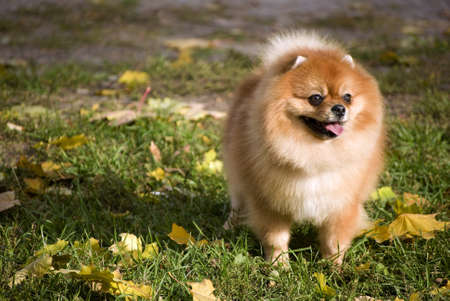 Pomeranian dog Stock Photo - 20671080