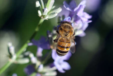 A bee on a lavender flower photo