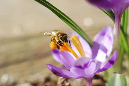 honeybee: Honeybee on a crocus flower Stock Photo