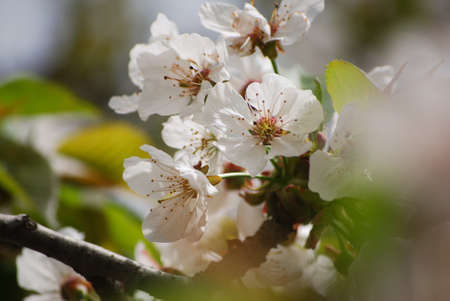Save to a lightbox  Find Similar Images  Share Stock Photo: Apple blossoms Stock Photo