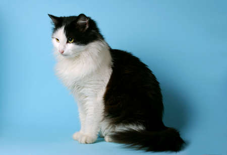 sidewards: Norwegian Forest Cat black and white, sitting, looking sidewards, on a blue background Stock Photo