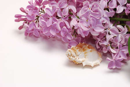 flower bunch: Lilac flower bunch and seashell isolated on white background Stock Photo