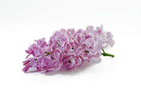 lilac flower bunch
