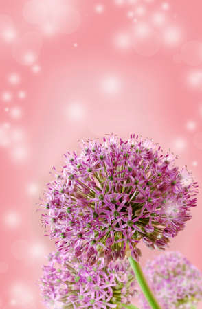flowers bokeh: Beautiful Blooming Purple Allium Close Up, Greeting or Wedding Card design. Stock Photo