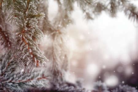 クリスマス、冬の背景に冷ややかな松の木。マクロ撮影