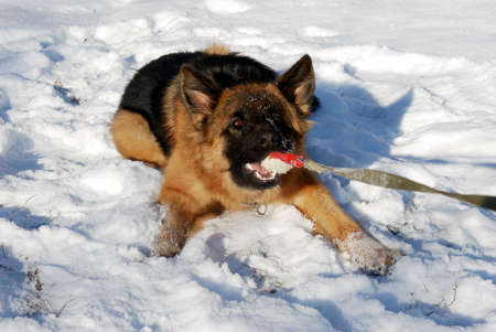 nine months: german shepherd dog playing with rubber pet toy, ball in a winter snowy field.  nine months age