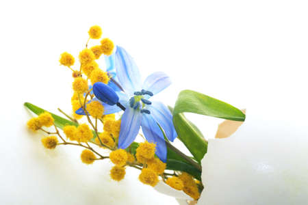 first spring flowers, blue snowdrops and mimosa in eggshell isolated on white background. Easter holiday background