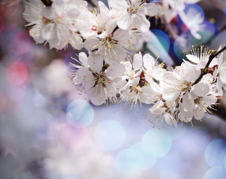 apricot tree: Vintage photo of Apricot tree flower with beautiful bokeh background.