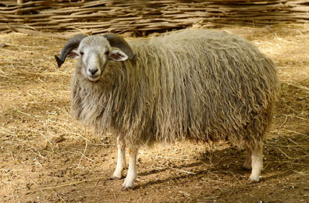 Big horned ram in the paddock. Sheep farm animal Stock Photo