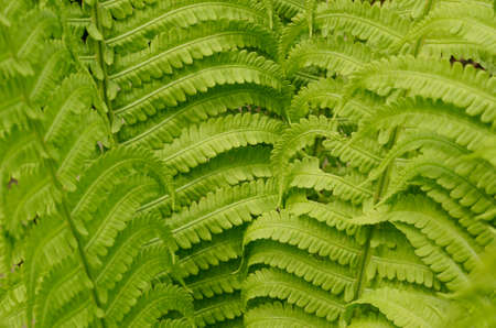 clam gardens: green fern leaves close-up. Spring floral background Stock Photo