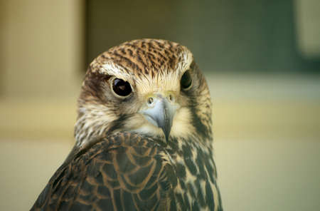 falconidae: Saker falcon. Falco cherrug. Wild bird in the zoo.
