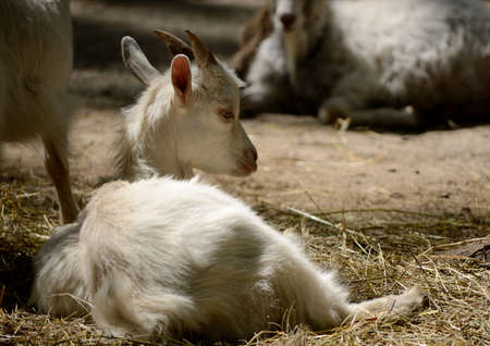 bleating: Cute young goat lying in the paddock. Farm animal