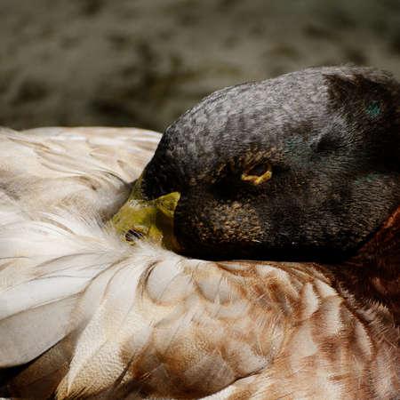 agachado: Cerca de retrato de pato ocultando su nariz debajo de las alas.