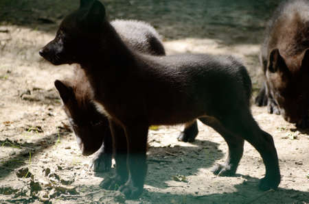 undomestic: Black baby Wolf in a cage of zoo Stock Photo