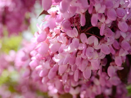 Close-up flowers of Cercis siliquastrum. Spring flowers background Stock Photo