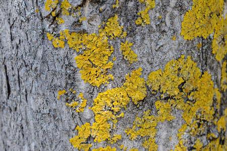 epiphytic: Epiphytic lichens on tree bark. Xanthoria parietina. Wooden texture background