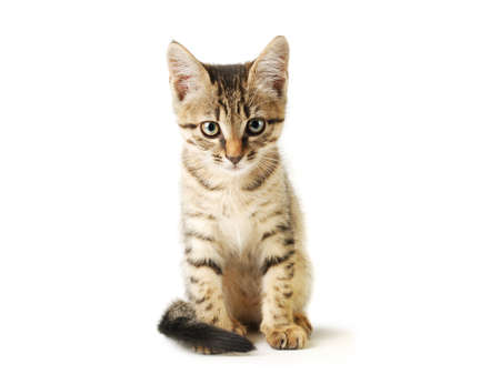nursling: Little cute grey striped kitten isolated on white background. Domestic pet close-up. Stock Photo