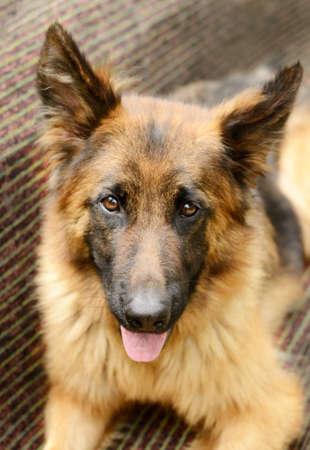 guardaespaldas: Retrato de primer plano de perro mullido joven de la raza pastor alemán miente en el jardín al aire libre. mascota en el exterior