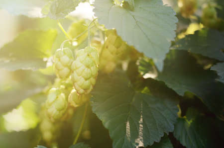 hopfield: Green Hop Cones in a field. Fresh ingredient for beer production