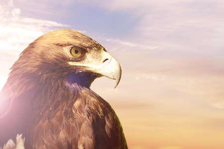 aigle royal: Portrait de Golden eagle Aquila chrysaetos sur le coucher du soleil, ciel, fond