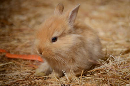Cute little fluffy red eared rabbit in a paddock.
