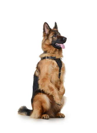 Portrait of a Young Fluffy German Shepherd Dog Standing on its hind legs against white background. Two Years Old Pet. Stock Photo