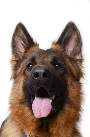 Close up Portrait of a Young German Shepherd Dog Looking to the Camera. Two Years Old Pet. Stock Photo