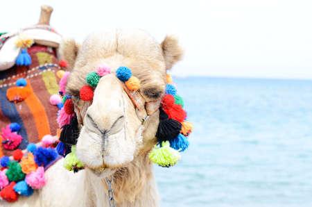 Close up portrait of camel near the seaside. Camelus ride